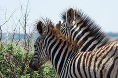 Cebras jovenes que son juguetonas en el arbusto africano Imagen de archivo libre de regalías