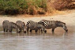 Cebras (quagga del Equus) en agujero de riego Imágenes de archivo libres de regalías