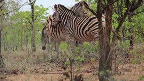 Cebras que abrazan y que se relajan en el bushveld africano almacen de metraje de vídeo