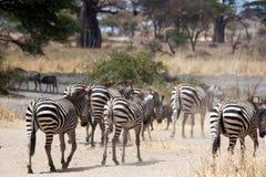Cebras que acometen abajo a los ríos Fotografía de archivo libre de regalías