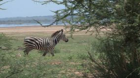 Cebras que caminan a través de árboles en la sabana almacen de video