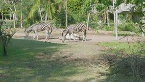 Cebras que caminan y que comen la hierba en territoty del parque zoológico abierto de Khao Kheow almacen de video