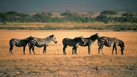 Cebras que comen la hierba, parque de Amboseli, Kenia almacen de metraje de vídeo