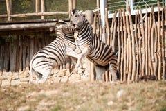 Cebras que luchan Foto de archivo libre de regalías