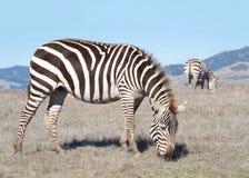 Cebras que pastan en campo secado sequía Imagen de archivo libre de regalías