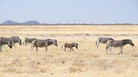 Cebras que pastan en el arbusto, sabana africana Safari de la fauna, parque nacional de Etosha, reservas de la fauna, Namibia, Áf Foto de archivo libre de regalías