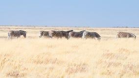 Cebras que pastan en el arbusto, sabana africana Safari de la fauna, parque nacional de Etosha, reservas de la fauna, Namibia, Áf Imágenes de archivo libres de regalías