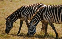 Cebras que pastan en Kenia Imágenes de archivo libres de regalías