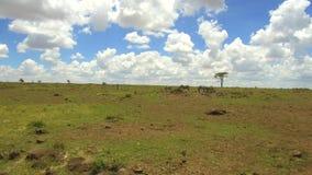 Cebras que pastan en sabana en África almacen de metraje de vídeo