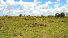 Cebras que pastan en sabana en África almacen de video