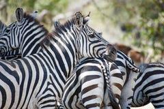 Cebras que se unen en Serengeti, Tanzania Fotografía de archivo libre de regalías