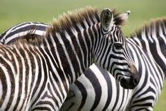 Cebras salvajes Imagen de archivo libre de regalías