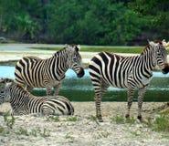 Cebras sedientas Imagen de archivo