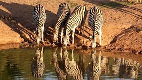 Cebras sedientas en un Waterhole almacen de metraje de vídeo