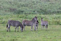 Cebras, Tanzania Fotografía de archivo