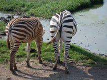 Cebras traseras de la vista lateral dos Fotos de archivo libres de regalías