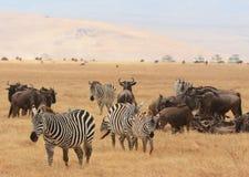 Cebras y ñu, Tanzania Imagenes de archivo
