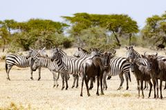 Cebras y ñus que se unen en Tanzania Foto de archivo