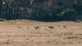 Cebras y facoqueros en la sabana africana polvorienta cerca de las rocas de la colina almacen de video