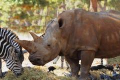 Cebras y rinocerontes que caminan junto Fotografía de archivo libre de regalías
