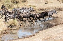 Cebras y wildebeest Fotografía de archivo