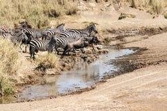 Cebras y wildebeest Imagenes de archivo