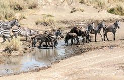 Cebras y wildebeest Foto de archivo libre de regalías