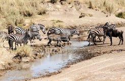 Cebras y wildebeest Imagen de archivo