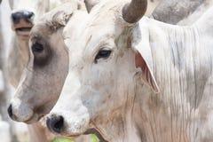 Cebu bulls Stock Image