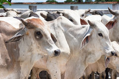 Cebu bulls Stock Photos