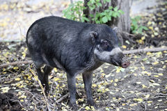 Cebu pig Stock Photography