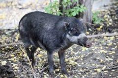 Cebu svin Arkivbild