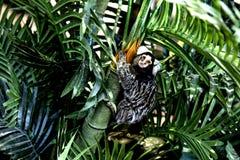 Cebuella pygmaea. Royalty Free Stock Images