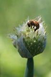 Cebula pączek z pszczołą Zdjęcia Royalty Free