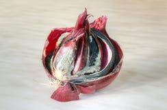 Cebula z spróchniałością zdjęcie royalty free