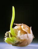 Cebula z strzałem Fotografia Royalty Free