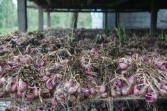Cebule po żniwa w stajni dla suszyć przed sprzedawać Obraz Stock