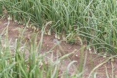 Cebule r w polu Zdjęcie Stock