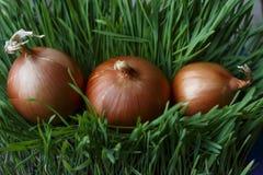 cebule w tempie trzy kawałka kłaść na zielonej trawie w grou zdjęcia royalty free