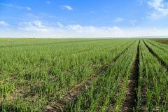 Cebuli pole, dorośleć przy wiosną Obrazy Royalty Free