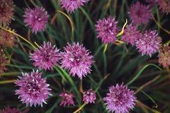 Cebuli shnitt Wiązka Cebulkowy lato kwiat Obrazy Royalty Free