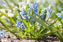 Cebulica błękitny kwiatów wiosna biel Zdjęcie Stock