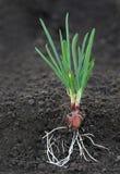 Cebulkowa roślina z korzeniami Zdjęcia Royalty Free