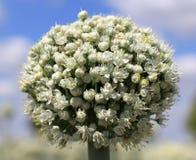 Cebulkowi kwiaty Zdjęcie Stock