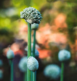 Cebulkowi kwiaty Obrazy Royalty Free