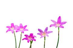 Cebulkowy kwiat Obrazy Royalty Free