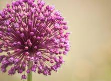 Cebulkowy kwiat Obraz Royalty Free