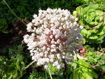 Cebulkowy kwiat Fotografia Royalty Free