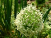 Cebulkowy kwiat zdjęcia royalty free