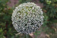 Cebulkowy kwiat w ogródzie w DrÅ ¾ enice Obraz Royalty Free